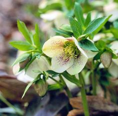 Lenten rose  Evergreen and tough, Lenten rose (Helleboros orientalis) is a shade-lover that often blooms while the snow is still on the ground.