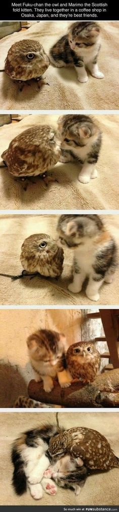 I Say Things Pinteresting Things Just Owls Pinterest - Owlet kitten meet coffee shop become best friends