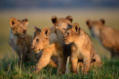 nubbsgalore: photographer michael nichols spent two and half years documenting two dozen lion prides in
