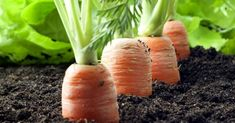 sadenie mrkvy Cantaloupe, Carrots, Fruit, Vegetables, Food, Gardening, Balcony, Lawn And Garden, Essen