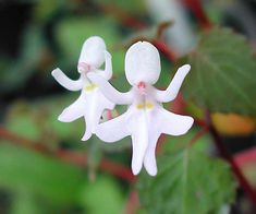 flowers-look-like-animals-people-monkeys-orchids-pareidolia-35