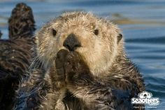 Sea otter looks like she's watching an exciting sports match