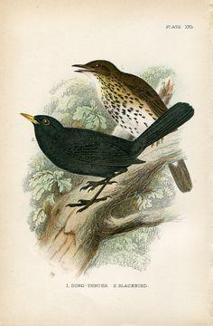 SALE Antique Original Hand Colored Chromolithograph Bookplate Book Plate Print Allen's Naturalist Library 1894 Bird XXII Blackbird