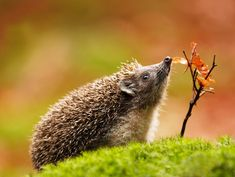 Jiri Michal - Hedgehogs have poor eyesight but excellent hearing and a great sense of smell!