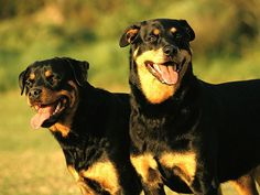 Most Expensive Dog Breeds: Rottweiler