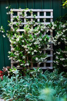Star jasmine is the best choice for shady fences (Trachelospermum jasminoides). Other shade lovers are climbing hydrangea (Hydrangea petiolaris), creeping fig and ivy. Fast Growing Climbers, Fast Growing Vines, Hydrangea Petiolaris, Climbing Hydrangea, Climbing Vines, Climbing Shade Plants, Climbing Plants Fast Growing, Climbing Plants For Trellis, Evergreen Climbing Plants