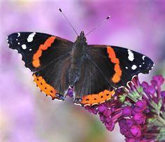 Red Admiral butterfly (Vanessa atalanta). http://blog.powerscourt.ie/blog/bid/147965/Discover-the-secret-world-of-minibeasts-at-Powerscourt