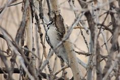 Downy Woodpecker ©Steve Frye. Wild Bird Company of Boulder, CO Saturday Morning Bird Walk in Boulder County - February 14, 2015.