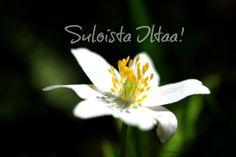 Valkovuokko, wood anemone