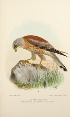 Notas sobre las aves de Kent / - Biodiversity Heritage Library