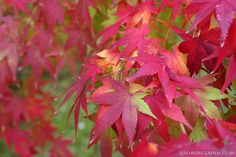 Japanese maple leaves: Coloring in progress ... please wait! ;)