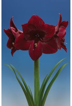 Amaryllis 'Black Pearl' (Hippeastrum) - The blooms on this amaryllis are NOT the cheery bright red you see at Christmastime, but an amazingly rich deep, dark red. The petals of the huge flowers actually appear velvety and glisten slightly in the light. This is definitely an amaryllis worth trying.