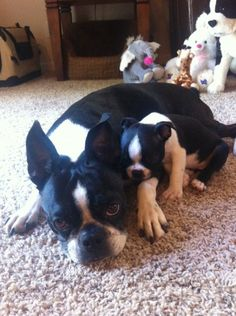 Lexie The Boston Terrier Gets A New Boston Terrier Puppy