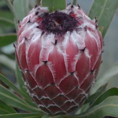 protea mayday Watermelon, Fruit, Vegetables, Nature, Food, Plants, Ornament, Flowers, Wildflowers
