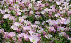 Rosa Nachtkerzen sind sehr gut für trockene, sonnige Standorte geeignet