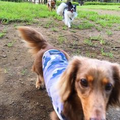 Miniature Dachshunds, Dogs, Sports, Animals, Hs Sports, Animales, Animaux, Doggies, Sport