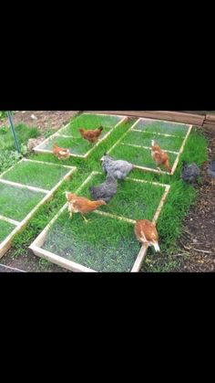 Lay frames of chicken wire over fodder to keep chickens from ruining the plant
