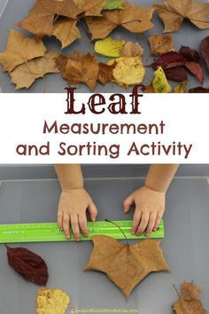 Leaf Measurement and Sorting Activity inspired by Red Leaf Yellow Leaf by Lois Ehlert Fall Preschool Activities, Preschool Science, Preschool Lessons, Stem Activities, Toddler Activities, Seasons Activities, Measurement Activities, Nature Activities, Thanksgiving Activities