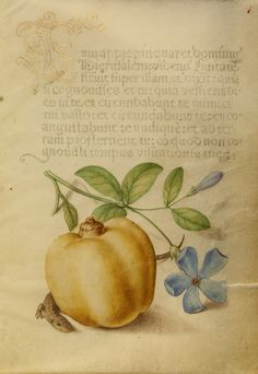 Periwinkle, Apple, and Lizard; Joris Hoefnagel (Flemish / Hungarian, 1542 - 1600), and Georg Bocskay (Hungarian, died 1575); Vienna, Austria; 1561 - 1562; illumination added 1591 - 1596; Watercolors, gold and silver paint, and ink on parchment; Leaf: 16.6 x 12.4 cm (6 9/16 x 4 7/8 in.); Ms. 20, fol. 1. High res image from the Getty Museum.