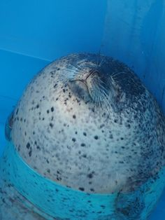 The roundest, happiest seal evaaaar Animals And Pets, Baby Animals, Funny Animals, Arctic Animals, Super Cute Animals, Cute Little Animals, Animals Tumblr, Cute Seals, Baby Seal
