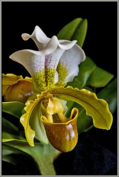 7ded321a5 36 Best LADY SLIPPER FLOWER images | Beautiful flowers, Exotic ...