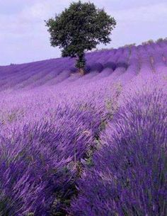 Lavender field in Provence - France - Purple flowers Lavender Fields France, Lavender Blue, Lavender Flowers, Purple Flowers, Lavander, French Lavender, Rose Flowers, Purple Love, Shades Of Purple