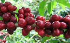 What is Coffee - Coffee Facts, Statistics and Effects of Coffee on Health - Coffee Brewing Methods Organic Coffee Beans, Coffee Brewing Methods, Coffee Club, Coffee Coffee, Coffee Shop, Coffee Break, Coffee Drinks, Coffee Wiki, Kona Coffee