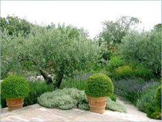 Gordes house rental - Garden with ancient olive tree and lavender. Garden Planning, Mediterranean Garden, Garden Design, Olive Trees Garden, Greek Garden, Garden Styles, Plants, Italian Garden, Garden Inspiration