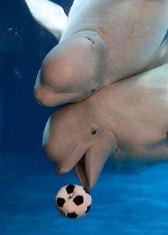 Playing underwater soccer. Beluga whales :)