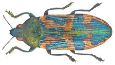 Castiarina undulata