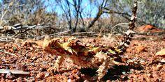 Thorny Devil (Moloch horridus) is found in arid scrub and desert regions of Central Australia.