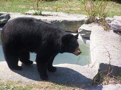 Maine Wildlife Park in Gray.  Hello, Mr. Black Bear.
