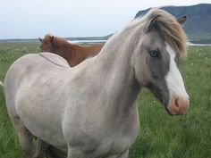 Beautiful grey horse with dark points and stripes!
