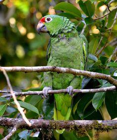 Red-lored Parrot (Amazona autumnalis salvini), Costa Rica.