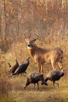 Nature - Buck with wild turkeys. - from Surfing Cowboy