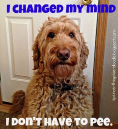 I Changed My Mind I Don't Have To Pee -Spencer the Goldendoodle