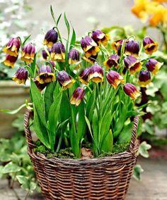 *Fritillaria Purple Bell