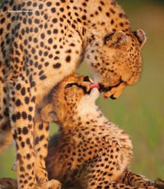 Mommy and Baby Cheetah in Africa Baby Cheetahs, Most Beautiful Birds, Bird Pictures, Michel, Big Cats, Vacation Trips, Pet Birds, Lions, Safari