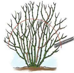 walnussbaum richtig schneiden nutzg rten pinterest. Black Bedroom Furniture Sets. Home Design Ideas
