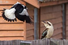 Australian Magpie and Laughing Kookaburra. Australian Birds, Heads Up, Magpie, The Locals, Laughing, Frame, Birds, Picture Frame, Eurasian Magpie