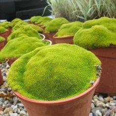 Un coussin moelleux et zen Scleranthus uniflorus est une mousse tapissante et persistante qui forme un superbe coussin vert tendre : très facile de culture, vous pourrez utiliser le Scleranthus dans un jardin au style japonais, dans une rocaille, ou pour composer un jardin miniature en pot. Il peut atteindre 80cm de diamètre en 5ans. Son feuillage est persistant et les petites feuilles sont d'un beau vert tendre. Le Scleranthus a besoin d'un sol assez riche mais drainé et d'une ...