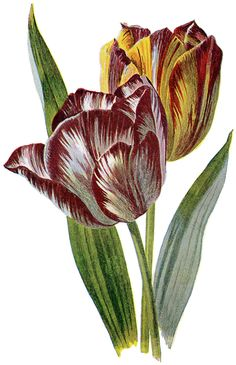 Lovely Vintage Red and Yellow Striped Tulip Image!