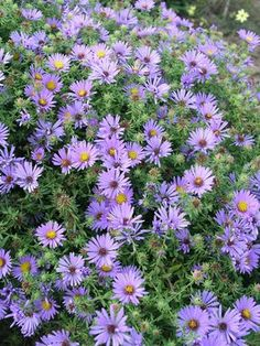 Aster oblongifolius October Skies  Bluestone Perennials