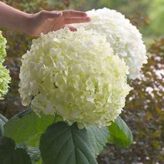 Incrediball® - Smooth Hydrangea - Hydrangea arborescens - super size blooms that don't flop over, part sun, 4', dark green leaves