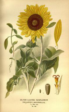 Silver-Leaved Sunflower (Helianthus Argophyllus)  Biodiversity Heritage Library