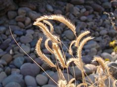 Here is a list of some of the best looking ornamental grasses that do very well in Utah and are  very waterwise. These grasses can handle...