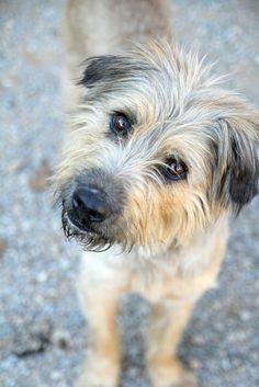 ¡ADOPTADO! FLASH. Gos d´atura de poco mas de un año. Pesa 16,5 kg. Recién salido de la pelu ya que llegó al refugio lleno de rastas. Muy tranquilo. Sociable con personas y perros.