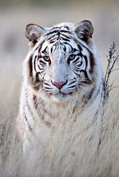 White Bengal Tiger #provestra