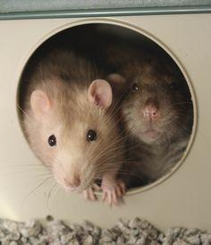 more rats