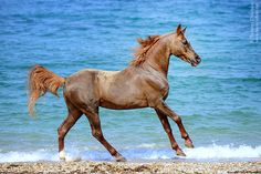 Horse on Beach. Beautiful color I think its red dun